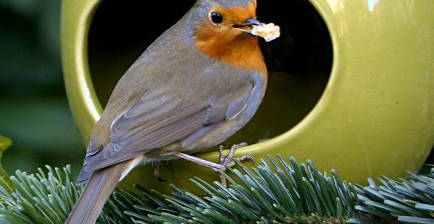 Hele jaar bijvoeren van tuinvogels, roodborstje